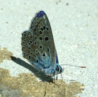 mariposa santa catalina